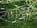 Agrostis stolonifera (3821000490).jpg