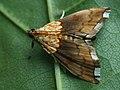 Agrotera nemoralis - Beautiful pearl - Огнёвка грабовая (40836220451).jpg