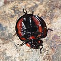 Aiolocaria hexaspilota s3.jpg