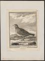 Alauda arvensis - 1700-1880 - Print - Iconographia Zoologica - Special Collections University of Amsterdam - UBA01 IZ16100321.tif