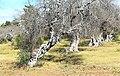 Albero di olivo attaccato da Xylella nell'agro di Gallipoli (IT).jpg