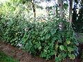 Alcea rosea (4).JPG