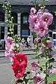 Alcea rosea - Enge - Tessinerplatz 2011-06-15 13-26-00.JPG