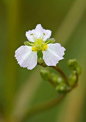 Alisma plantago-aquatica - Image: Alisma Plantago Blossom