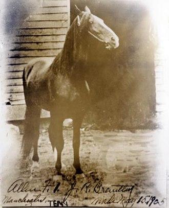 Tennessee Walking Horse - Black Allan in 1905.