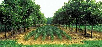 Agroforestry - Alley cropping corn fields between rows of walnut trees.