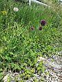 Allium rotundum sl26.jpg