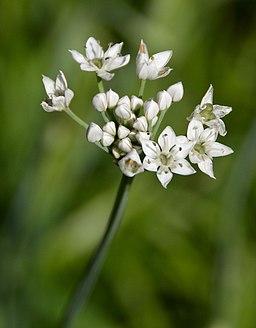 Allium tuberosum A