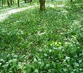 Allium ursinum5 ies.jpg