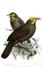 Картина двух коричневых птиц с желтыми на морде и голове и оранжевыми клювами.