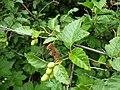 Alnus viridis (7933764982).jpg