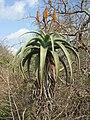 Aloe excelsa 3.jpg