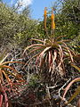 Aloe spicata 17 (9434358743).jpg