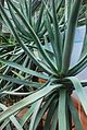 Aloe suzannae 07 03 Philweb (19356681786) (2).jpg