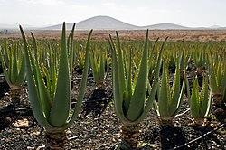 Aloe vera plantation IMGP0177.jpg