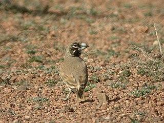Thick-billed lark species of bird