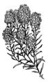Alyssum 1 (PSF).png