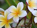 Amancayo - Frangipán - Azuceno (Plumeria rubra fo. acutifolia) - Flickr - Alejandro Bayer.jpg