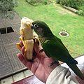 Amazona-banana.jpg
