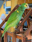 A green parrot with yellow shoulders and head, and white eye-spots