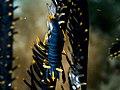 Ambon Crinoid Shrimp (Laomenes amboinensis).jpg