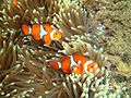 Amphiprion ocellaris 5.JPG