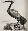 An Egyptian ibis. Etching by T. Owen. Wellcome V0020934.jpg