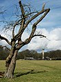 An old hawthorn tree and Ashridge Monument - geograph.org.uk - 1193136.jpg