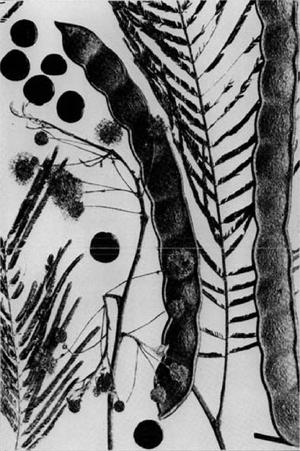 Anadenanthera peregrina - Anadenanthera peregrina 1916