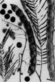 Anadenanthera-peregrina-bw.png