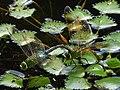 Anax parthenope julius(Couple,Japan,17.08.23).jpg