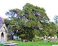 Ancient Yew, Chailey Churchyard - geograph.org.uk - 1015448.jpg