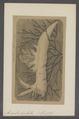 Ancula cristata - - Print - Iconographia Zoologica - Special Collections University of Amsterdam - UBAINV0274 080 20 0003.tif