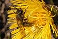 Andrena.fulva.-.lindsey.jpg