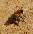 Andrena nitida. Female. - Flickr - gailhampshire.jpg