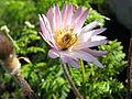 Anemone tenuifolia IMG 0376.JPG
