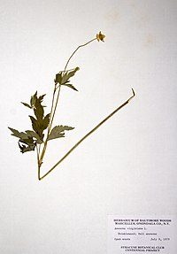 Anemone virginiana BW-1979-0709-0571.jpg