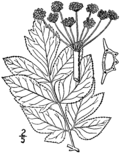 Angelica atropurpurea drawing 01.png