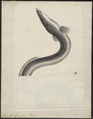 Anguilla vulgaris - 1700-1880 - Print - Iconographia Zoologica - Special Collections University of Amsterdam - UBA01 IZ15200007.tif