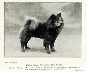 Chow Chow - A Chow Chow in 1901