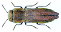 Anthaxia protractula Obenberger, 1931.png
