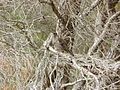 Anthochaera chrysoptera -Merimbula, New South Wales, Australia-8.jpg