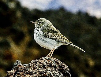 Pipit - Berthelot's pipit is restricted to the Atlantic islands of Madeira and the Canary Islands