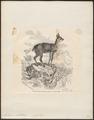 Antilope saltatrix - 1700-1880 - Print - Iconographia Zoologica - Special Collections University of Amsterdam - UBA01 IZ21400111.tif