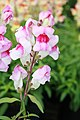 Antirrhinum Crown Light Mauve 0zz.jpg