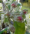 Apfelblüte nach Frostschutzberegnung.jpg