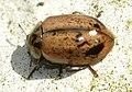 Aphidecta-obliterata-01-fws.jpg