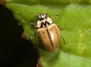 Conifer ladybird (Aphidecta obliterata)