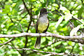 Apical Flycatcher (Myiarchus apicalis) (8079772339).jpg