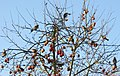 Apple tree with flock of thrushes - geograph.org.uk - 2208132.jpg